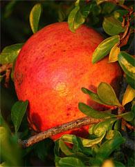 Antioxidantrijke bessen: de vlierbes, blauwe bosbes en granaatappel