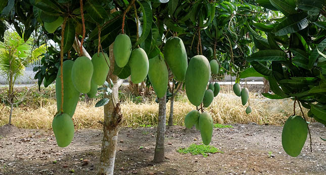 Mangoboom