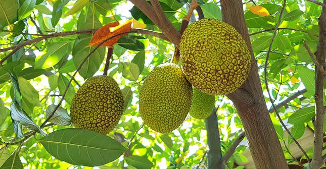 De gezondheidsvoordelen van jackfruit